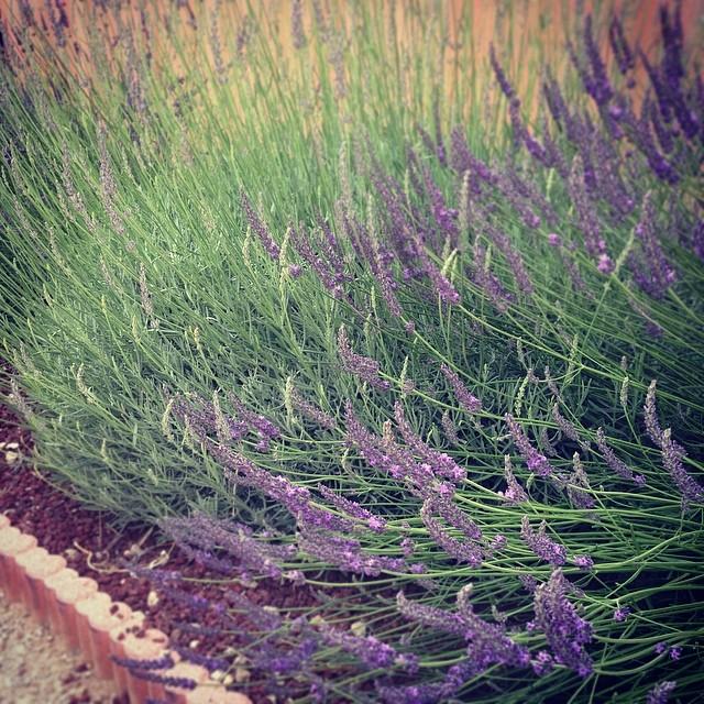 lavender from the garden of artist Anne-Julie Aubry - http://www.annejulie-art.com